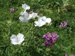 17. Лён пушистый белоцветковая форма