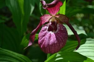 5. Венерин башмачок крупноцветковый